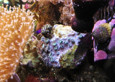 Turbinaria after rock fall in Nano Reef Tank